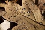 Thumbnail Oak leaf with dew drops