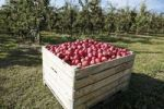Thumbnail Apple orchard, box with freshly picked red apples
