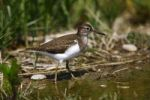 Thumbnail Common Sandpiper (Actitis hypoleucos) looking for food at the edge of a body of water