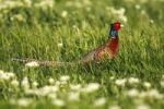 Thumbnail Common Pheasant or Ring-necked Pheasant (Phasianus colchicus), cock in a meadow