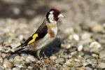 Thumbnail Goldfinch or European Goldfinch (Carduelis carduelis) standing on rocky ground