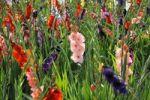 Thumbnail Gladiolas (Gladiolus)