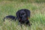 Thumbnail Black Labrador Retriever puppy, 10 weeks, male