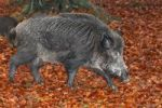 Thumbnail Wild Boar (Sus scrofa), tusker in a beech forest in autumn