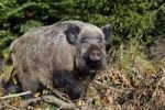 Thumbnail Wild Boar (Sus scrofa), sow in a forest