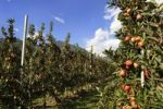 Thumbnail Apple growing in Bressanone, Trentino, South Tyrol, Italy, Europe
