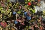 Thumbnail Blueberry and Craneberry, Vaccinium myrtillus, Vaccinium vitis-idaea