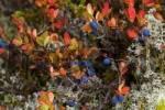 Thumbnail Blueberry, Vaccinium myrtillus