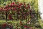 Thumbnail rosebush in a garden