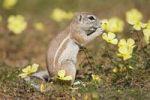 Thumbnail African Ground Squirrel (Xerus rutilus), Mabuasehube Game Reserve, Kalahari Desert, Botswana, Africa