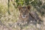 Thumbnail Young Lion (Panthera leo), Central Kalahari Game Reserve, Botswana, Botswana, Africa