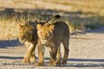 Thumbnail Lion pups, cubs (Panthera leo), Kgalagadi Transfrontier National Park, Gemsbok National Park, South Africa, Botswana, Africa