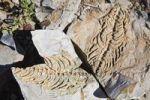 Thumbnail Petrified Mesosaurus fossil, Namibia, Africa