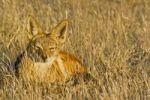 Thumbnail Black-backed Jackal (Canis mesomelas), jackal, Etosha National Park, Namibia, Africa