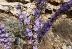 Thumbnail Chimney Bellflower (Campanula pyramidalis), Croatia, Europe