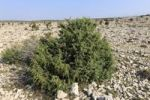 Thumbnail Juniper bush, barren landscape near Kosljun, Pag island, Dalmatia, Adriatic Sea, Croatia, Europe