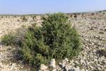 Thumbnail Juniper bush, barren landscape near Kosljun, Pag island, Dalmatia, Adriatic Sea, Croatia, Europe