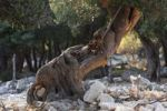 Thumbnail Olive tree, olive grove Lun, Pag island, Dalmatia, Adriatic Sea, Croatia, Europe