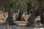 Thumbnail Old olive trees, olive grove Lun, Pag island, Dalmatia, Adriatic Sea, Croatia, Europe