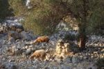 Thumbnail Sheep, olive grove Lun, Pag island, Dalmatia, Adriatic Sea, Croatia, Europe