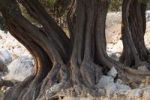 Thumbnail Old olive trees, olive grove Lun, Pag island, Dalmatia, Adriatic Sea, Croatia, Europe