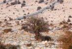 Thumbnail Shrub, barren landscape on the Lun peninsula, Pag island, Dalmatia, Adriatic Sea, Croatia, Europe