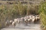 Thumbnail Flock of sheep on dirt road, Pag island, Dalmatia, Adriatic Sea, Croatia, Europe