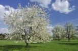 Thumbnail Blossoming fruit trees in spring