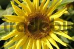 Thumbnail Sunflower Helianthus annuus with bee