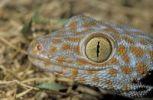 Thumbnail Tokay gecko (Gekko gecko), Khao Sok, Thailand, Southeast Asia
