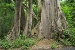 Thumbnail Kapok trees (Ceiba pentandra) in the tropical rainforest, St. Croix island, U.S. Virgin Islands, United States