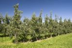 Thumbnail Half-standard tree orchard with apple trees, Wasserburg, Lake Constance, Bavaria, Germany, Europe