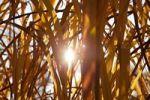 Thumbnail Reeds in autumn