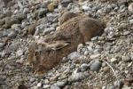 Thumbnail Hare (Lepus europaeus) in a form, gravel pit, Allgaeu, Germany, Europe