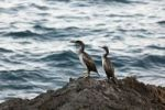 Thumbnail Great Cormorants (Phalacrocorax carbo) on a rock by the sea, Croatia, Europe