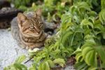 Thumbnail Tabby cat in Finiki, island of Karpathos, Aegean Islands, Dodecanese, Aegean Sea, Greece, Europe