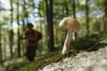 Thumbnail Small mushroom in the forest, Risnjak National Park, Gorski Kotar region, Croatia, Europe