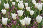 Thumbnail Tulips (Tulipa)