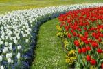Thumbnail Flower-bed of Tulips