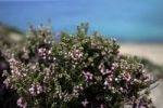 Thumbnail Heather (Erica), Karpathos, Aegean Islands, Aegean Sea, Greece, Europe