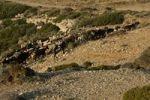 Thumbnail Herd of goats, island of Karpathos, Aegean Islands, Aegean Sea, Greece, Europe