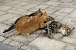 Thumbnail Cat feeding kittens, Pigadia, island of Karpathos, Aegean Islands, Aegean Sea, Greece, Europe