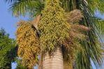 Thumbnail Date palm (Phoenix dactylifera), with seed heads, St. Croix island, U.S. Virgin Islands, United States