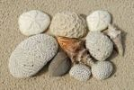 Thumbnail Beach finds, corals, sea sheels, sea urchins shells and stone, St. Croix island, U.S. Virgin Islands, United States