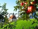 Thumbnail Appletree in front of a chapel near Lake Constance, Baden-Württemberg, Germany, Europe
