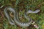 Thumbnail Common European Adder (Vipera berus) male shortly after the casting of the skin in spring