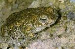 Thumbnail Natterjack toad (Bufo calamita) in a sand pit