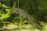 Thumbnail Great Crested Newt, Northern Crested Newt or Warty Newt (Triturus cristatus), female