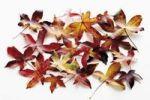 Thumbnail American Sweetgum, Redgum (Liquidambar styraciflua), autumn leaves