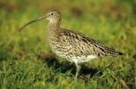 Thumbnail Eurasian curlew (Numenius arquata), standing in a meadow